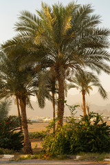 Date palms of the Sinai Peninsula.