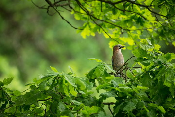 Garrulus glandarius. The wild nature of the Czech Republic. Free nature. Picture of a bird in nature. Beautiful picture. Bird in the woods. Deep forest. Mysterious Forest. Wild. From bird life. Spring