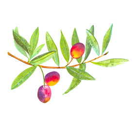 A watercolor drawing of a vibrant green olive tree branch with fruits, isolated on a white background with a clipping path