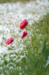 Fototapete - The tulips under the snow.