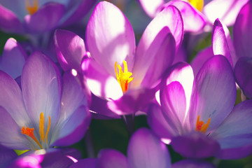Poster Krokussen purple crocuses