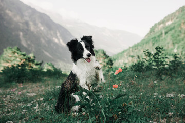 beautiful black and white dog border collie sit on a field with flowers and look in camera. in the background mountains. space for text