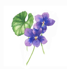 Hand-drawn watercolor illustration of the isolated violets flowers. Tender spring drawing flowers on the white background - Illustration
