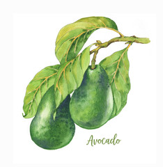 Watercolor hand drawn illustration with fresh green avocado on the branch isolated on the white background