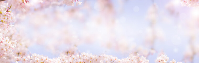 Wall Mural - Cherry blossom in spring for background or copy space for text