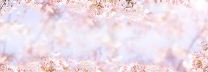 Cherry blossom in spring for background or copy space for text Wall mural