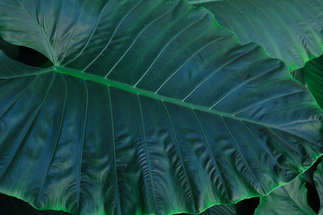 Green grass tropical leaf big texture