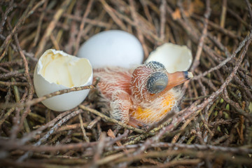 Egg and newborn babies hatch in the nest