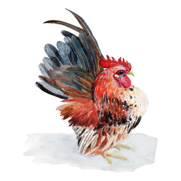 Chicken Watercolor painting isolated. Watercolor hand painted Chicken illustrations.Chicken isolated on white background