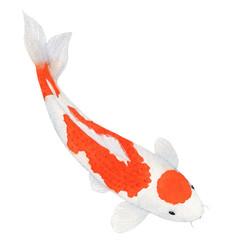 koi Carp fish Watercolor Painting ,Print Wall Art ,Hand painted.  koi Carp fish Illustration isolated on white background.