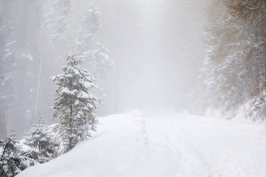 The coniferous forest in mountains in snowstorm