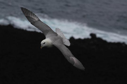 Fulmar in Vestmannaeyjar Islands, Iceland