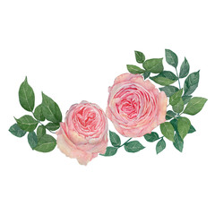 rose flowers. rose flowers set. Watercolor hand painted botanical illustration of a rose .