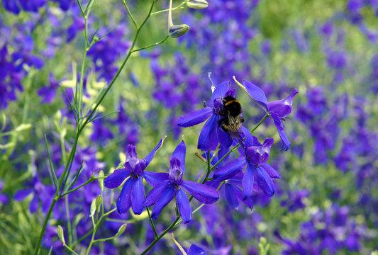 Forking larkspur blue flowers