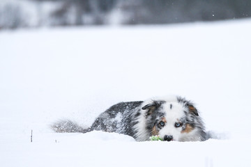 A portrait picture of the Australian shepherd dog lying in the snow during cold winter day. He enjoys the snow and the cold weather.