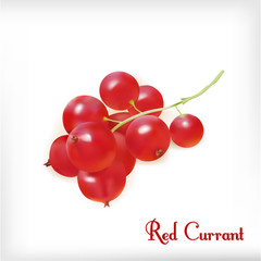 Red currant. Realistic vector illustration