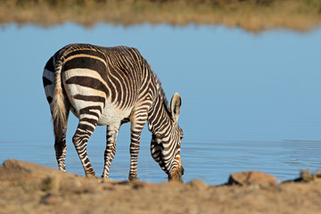 A Cape mountain zebra (Equus zebra) drinking at a waterhole, Mountain Zebra National Park, South Africa.
