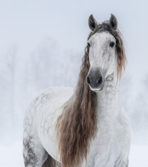 Fototapete - Grey Pure Spanish Horse with long mane.