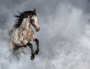 Fototapete - Portrait of Appaloosa horse in light smoke.