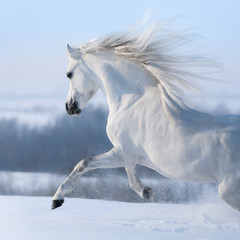 Fototapete - Beautiful white horse with long mane galloping across winter meadow.