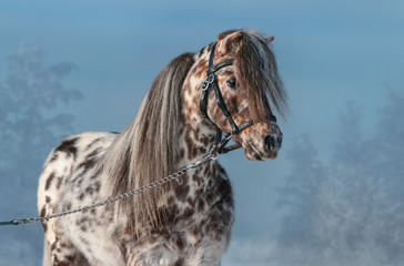 Fototapete - Portrait of Appaloosa miniature horse at winter time.