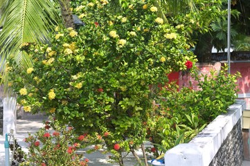 Maldivian garden with plants and red and yellow flowers (Ari Atoll, Maldives)