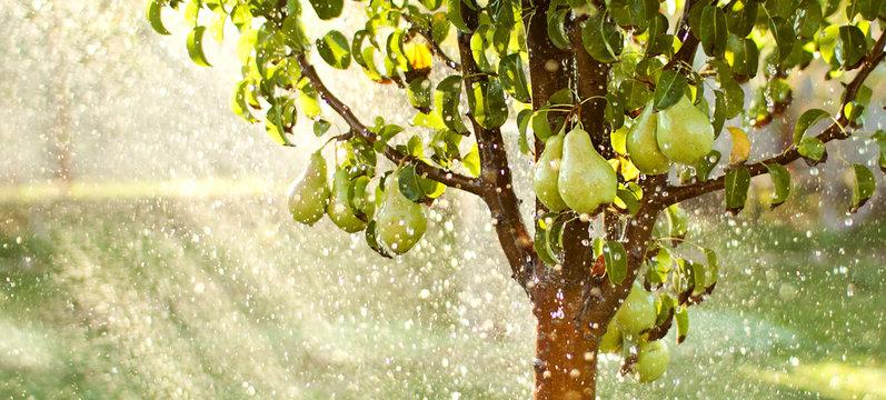 Spring garden background. Summer rain in fruit garden