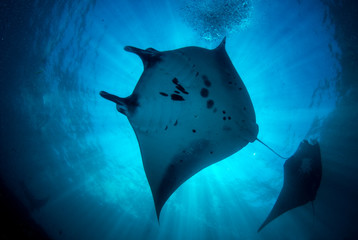 Incredible underwater world of Bali - Manta biristis. Diving and underwater photography in the Indian Ocean.