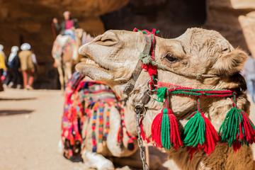 camel desert animal profile portrait photography in heritage touristic site
