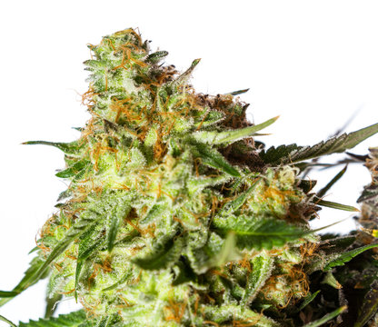Harvesting time for cannabis