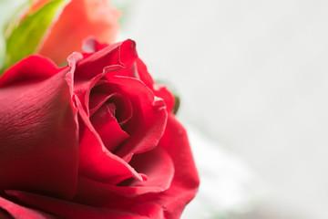 クローズアップした真っ赤なバラ