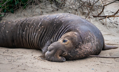 Northern Elephant Seal bulls (Mirounga angustirostris) rest on the beach during mating season, at Ano Nuevo State Park and preserve, along the Pacific Coast of California, in Pescadero.