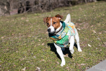 young dog breed Jack Russell on a walk on a sunny afternoon frolics with a girlfriend on a sandy beach and grass near the water
