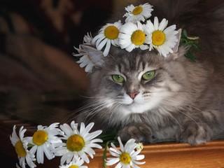 Portrait beautiful gray kitty in wreath of chamomiles