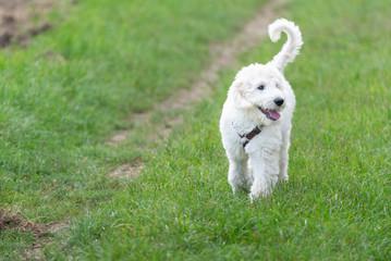 Junger Labradoodle Hund läuft im Freien