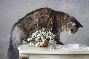 Funny gray kitty and snowdrop flowers