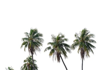 A row of coconut tree trunks on white isolated background for green foliage backdrop