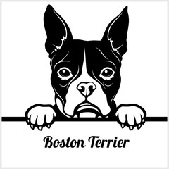 Boston Terrier - Peeking Dogs - - breed face head isolated on white
