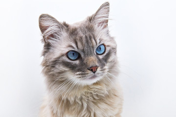 Siberian colorpoint with blue eyes. Cat portrait isolated on white background