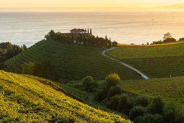 Txakoli white wine vineyards at sunrise, Cantabrian sea in the background, Getaria, Spain