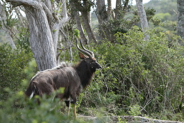 A male Nyala antelope found in the wild in South Africa. Game viewing concept image.