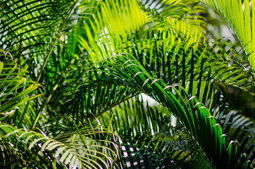 Intertwined green fronds of palm plants filling the frame with a background of natural tropical greenery