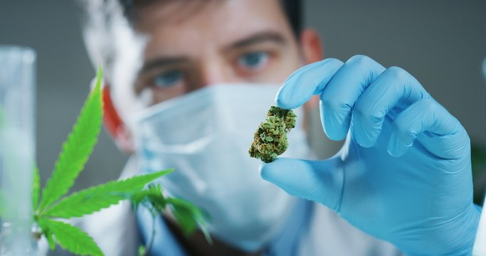 Portrait of scientist with mask and gloves checking and analizing a biological and ecological hemp plant used for herbal pharmaceutical cbd oil in a laboratory.