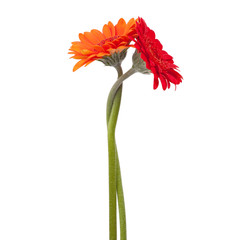 Fototapete - Two gerberas intertwined with each other