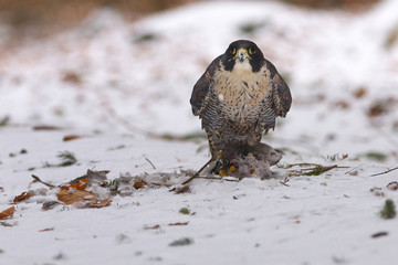 View of a peregrine falcon standing on the snow in the winter forest with its prey