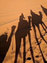 Camels trip on Sahara Desert