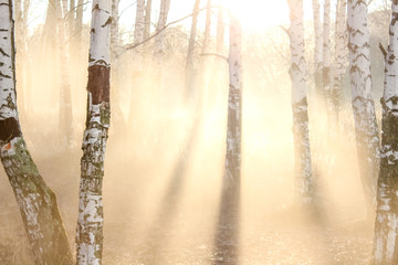 Beautiful morning fog in the birch grove among the trees in the sun mystical atmosphere. Backlit.