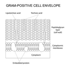 Vector outlined illustration of the Gram-positive cell wall. Black and white.