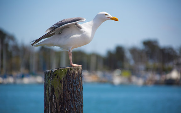 California gull perching on a post in Berkeley Marina