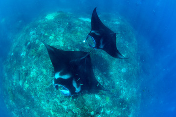 Incredible underwater world - Manta birostis in the Indian Ocean. Diving and wide angle underwater photography. Bali, Indonesia.